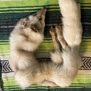 Vintage Arctic Fox Head Stole